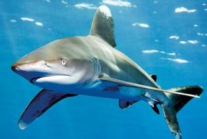 Oceanic whitetip shark  Pic courtesy Norbert Probst