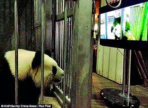 Female panda Colin watching the panda porn. Staff at the Panda Breeding and Research Base in Southern China, were worried when she kept rejecting her mate, Yongyong