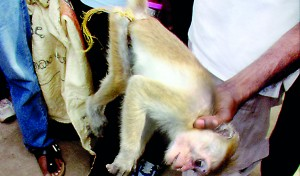 Success: The injured monkey is captured and brought for treatment
