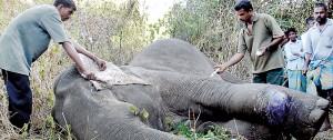 An injured elephant being treated by WildLife Department veterinarians. Pic courtesy Ranjith Silva-Olga Studio Kiribathgoda and Dr. Tharaka Prasad
