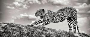 A leopard awakening from his slumber at Yala
