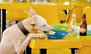 When students are away a four-legged friend helps itself to a pastry. Pix by Indika Handuwala