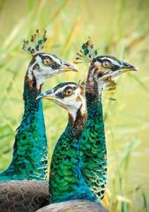Peahens at Yala