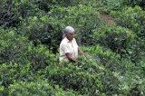 Lankan plantations struggle to survive amidst high production costs