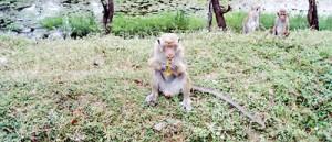 Monkeys on the road from Trincomaleeto Mannar. Pic by Yoke-Sim Gunaratne