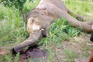 Dead and dying elephants at Dambula and Kalawewa. Victims shot by angry farmers  (Pix By Kanchana Kumara Ariyadasa