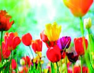 tulips_sm copy