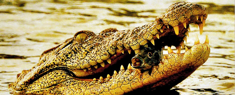 Giving teeth to crocodile connection from the past