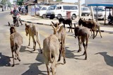Indians here to help Lankan donkeys