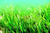 Underwater meadows of grass