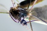 Two new mosquito species found here