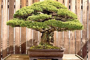 The white pine that tells a story: Bonsai tree in the U.S. National Arboretum. Pic by M. Kornely, VOA