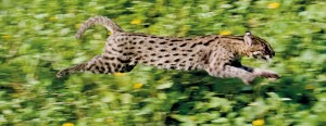 The Collared Fishing Cat is released in Attidiya