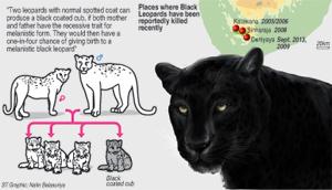 Black-LeopardGraphic