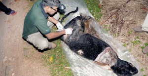 Brutal end: The carcass of the black leopard