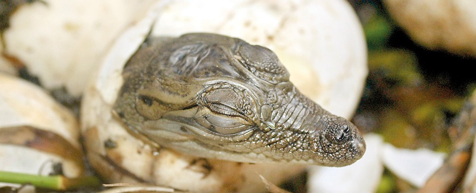 Wildlife enthusiasts become foster  parents to 20 crocs