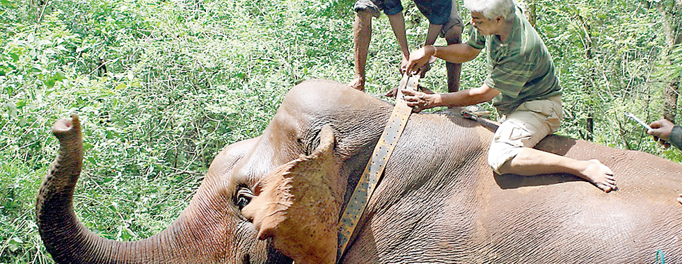 Ajay Desai (right) fixes a radio collar to a wild elephant in India as it recovers from a tranquilizer drug