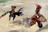 Gambling and bloodlust: Police raid cock-fighting pit