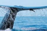 Tracking Blue Whales in Sri Lanka
