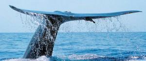 Blue-whale-Tail-Fluke