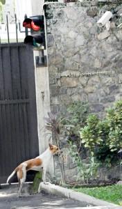 COMGM-Stray-dogs