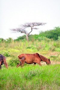 Wold horses in Mannar