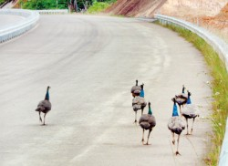 Religious beliefs save Mattala peacocks, but threat persists