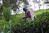 Lankan plantations hit by fertiliser shortage, could lead to tea revenue loss