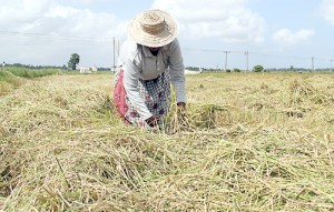 Ampara farmers say their harvest is destroyed by wild elephants