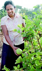 These pictures show farmers in Anuradhapura and Polonnaruwa moving to the cultivation of fruits and vegetables