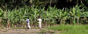 With the prolonged drought affecting the paddy harvest, farmers in many areas have switched to alternate crops. Farmers in this one-time paddy field in Anuradhapura are seen checking on their banana cultivation. Pic by Indika Handuwala.