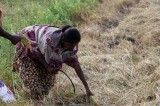 Paddy farmers in quandary as drought continues