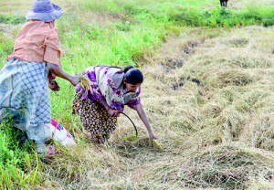 Hit from all sides: Paddy farmers are worried about their future. Inset: S. Kumara, an Ampara district farmer affected by the drought and low paddy prices. Pix by Indika Handuwela