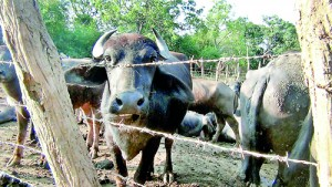 Cattle affected by foot-and-mouth disease in farms in Puttalam.  Pix by Hiran Priyankara Jayasekera