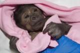 Gorilla born in rare C-section has pneumonia