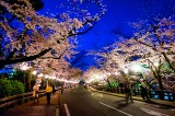 Off to Kumamoto to see Japan's famed cherry blossoms