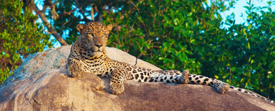 Leopards leap from the pages as do other wildlife
