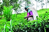 Industry imperiled, planters disillusioned
