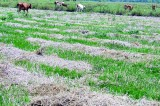 From paddy fields to grazing grounds