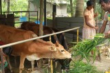 Fonterra Programme helps increase milk production amongst farmers in Hanwella