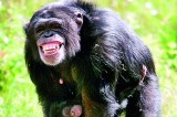 Chimpanzees go ape for Indian music