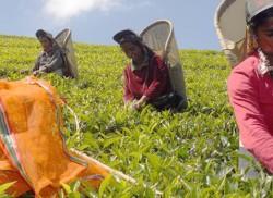 Storm brews over Lankan tea export markets