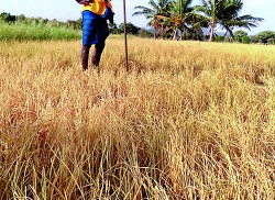 Drought destroys paddy fields