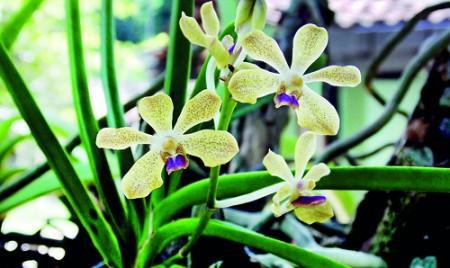 Vanda thwaitesii blooms from extinction