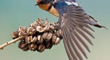 Meet Atu – the acrobatic Barn Swallow!