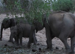 Rumble in African jungle, what about our elephants?