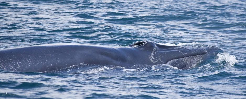 Eden: New whale in Lankan waters