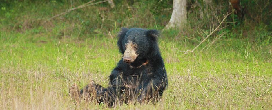Baring bear facts