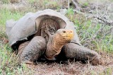 Giant tortoises rally from near extinction on Galapagos island