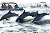 New safety rules as whale, dolphin watching  season begins in Kalpitiya